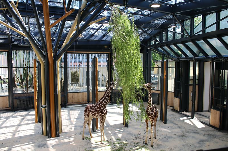 Two giraffes munching on leaves in the new giraffe house at Schönbrunn Zoo