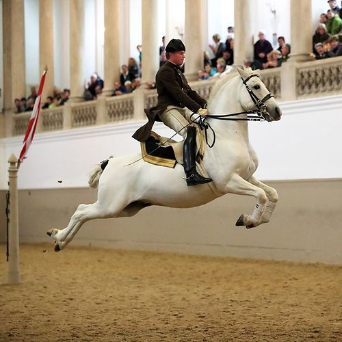 Spanish Riding School, Lipizzaners, rider jumping