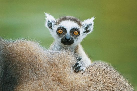 Small ring-tailed lemur with big eyes